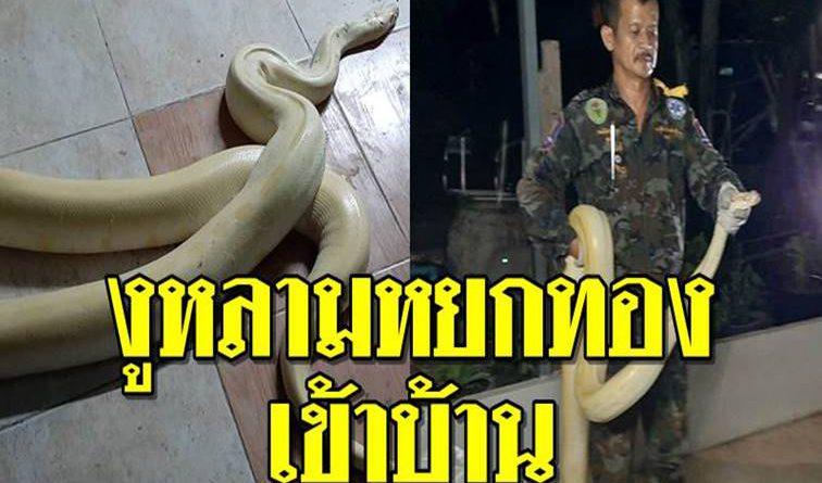 งูหลามหยกทอง