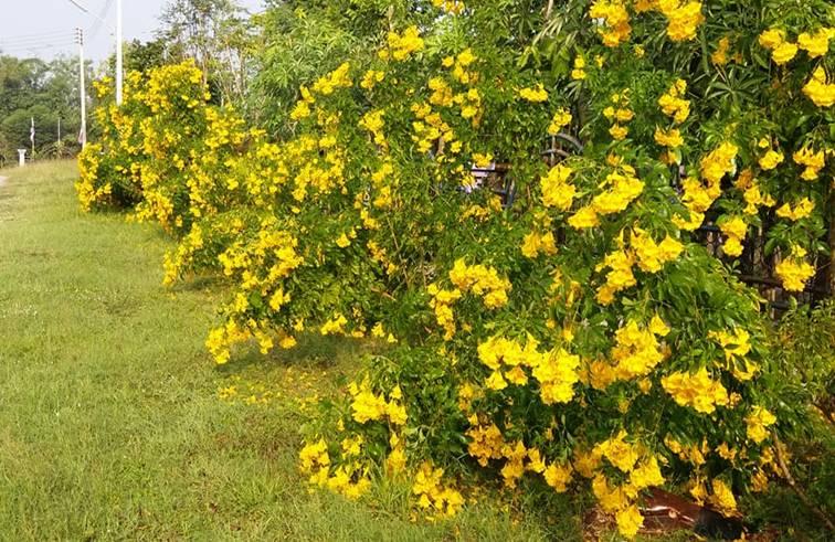 ต้นทองอุไร ไม้มงคลเสริมโชคลาภ ปลูกให้ถูกวันเงินทองเต็มบ้าน
