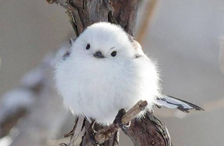 นกชิมะเอะนากะ