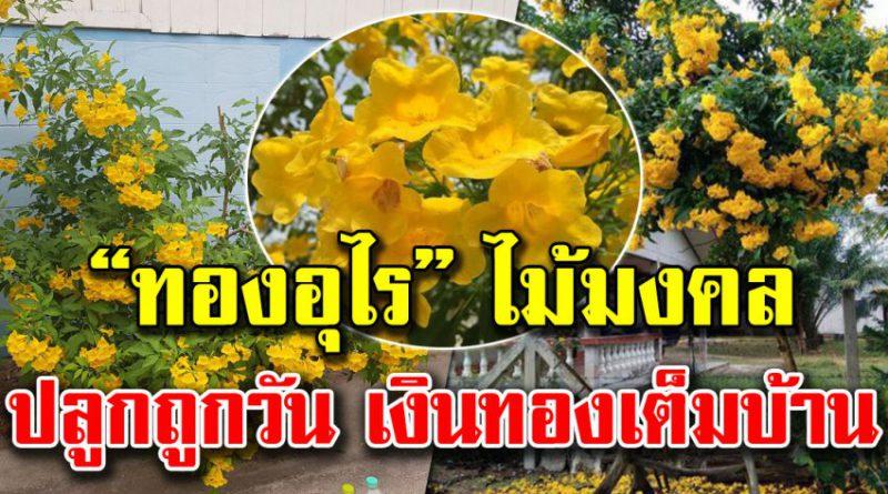 """ปลูกไม้มงคล """"ทองอุไร"""" ดอกสีเหลืองสดใส เสริมโชคลาภ ปลูกความร่ำรวยไว้ในบ้าน"""