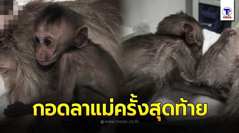 ภาพปวดหัวใจ ลูกลิงน้อยกอดหอมร่างไร้วิญญาณของแม่เป็นครั้งสุดท้ายหลังถูกรถชน สุดยื้อ ลูกน้อยต้องกำพร้า